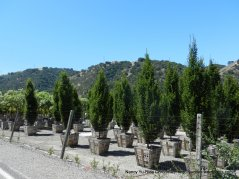 Calaveras tree farm