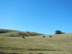 grassy hills with grazing cattle