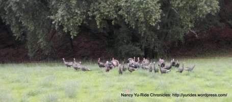 gaggle of turkeys on Lucas Valley Rd