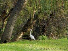 Whaite Heron at Holiday Highland Park