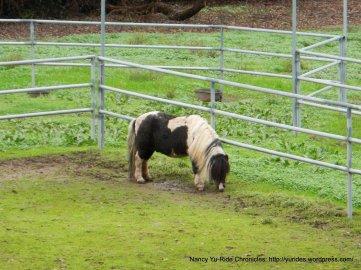 miniature horse-Mini Hacienda ranch on Franklin Canyon