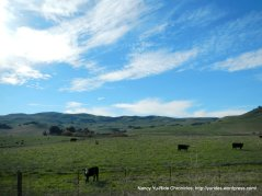 rolling hill & grazing cattle off Lopes Rd