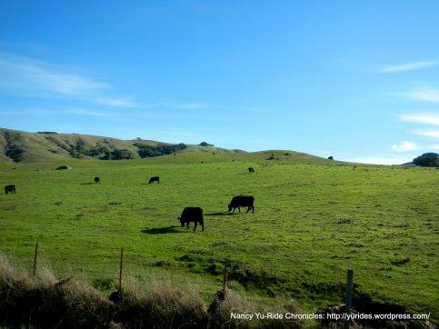 grazing cattle-Hicks Valley
