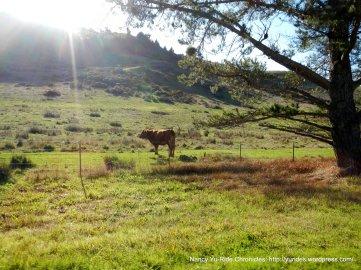 lone cattle