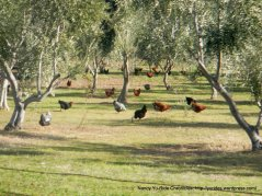Organic egg farm on Pleasants Valley