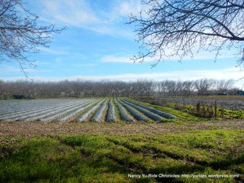 strawberry field-Winters