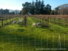 grazing sheep-Suisun Valley