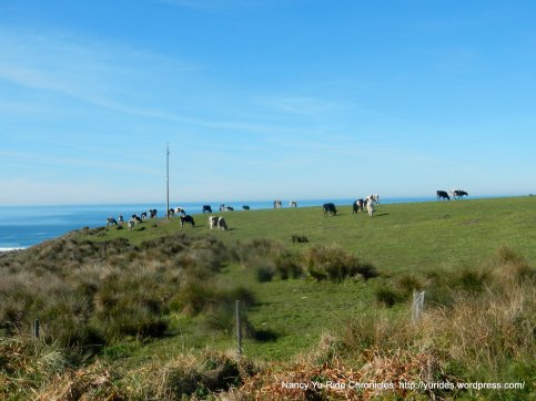 grazing dairy cows