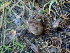 peeping mole-Inverness