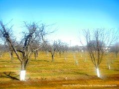 Orchards along Putah Creek Rd