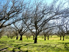 orchards along Boyce Rd
