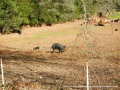 pig ranch