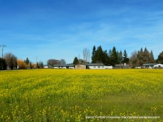 fields of wildflowers-Dry Creek Valley