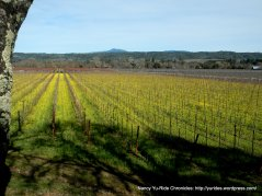 rows and rows of vines