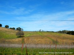 patchwork vineyard on Canyon Rd