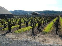 pruned vineyards