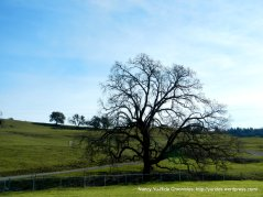 grand tree-Knights Valley