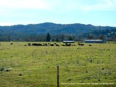 grazing Angus cattle