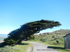 wind blown Cypress