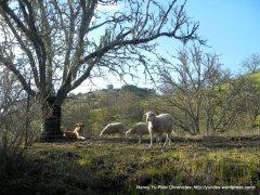 dog & his sheep