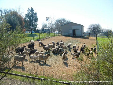 specialty sheep ranch