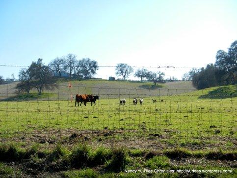 grazing sheep & cattle
