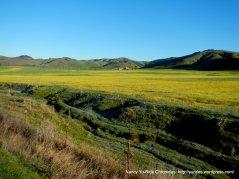 fields of yellow!