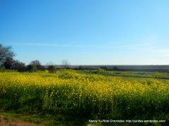 fields of yellow wildflowers along Goodyear Rd