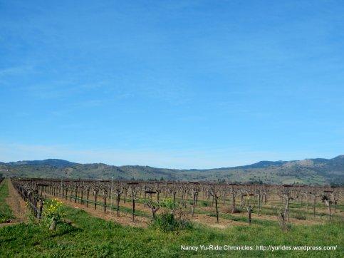 vineyard along Abernathy Rd