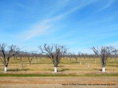 orchards along Putah Creek