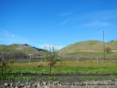 vineyard on Alhambra Valley