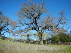 mighty oak-Pleasanton Ridge