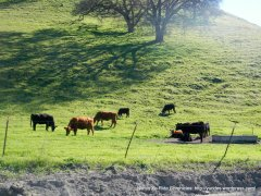 grazing cattle