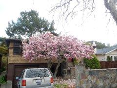 bloomong Magnolias