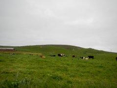 grazing bovines