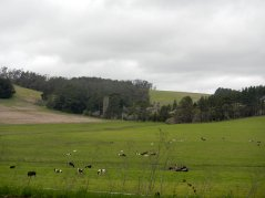 pastoral lands with grazing bovines