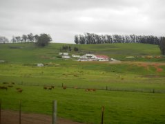 dairy farms and grazing bovines
