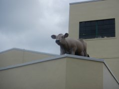 cow on the roof at Petaluma Creamery