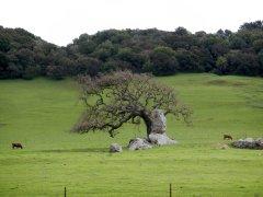 beautiful single oak
