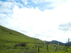 more grazing bovines