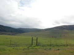 Nicasio Valley hills-grazing cattle