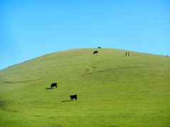 grazing cows-green hills