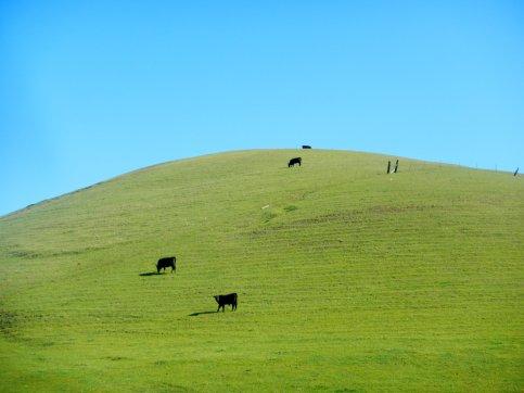 grazing cows-green hills