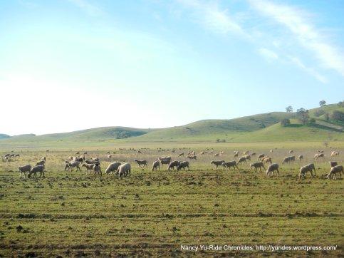 grazing sheered sheep