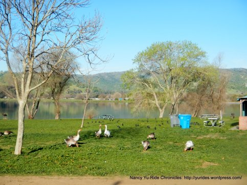 fat ducks at the lagoon