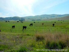grazing cattle-rich green hills