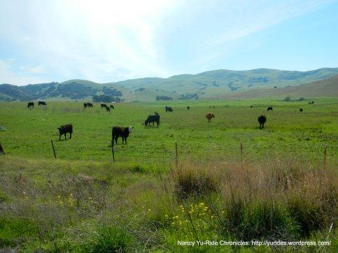 grazing cattle-rich green hills