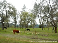 grazing cattle among the daffodils