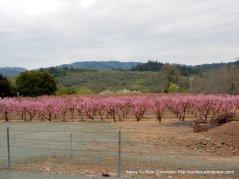 pink blossoms-Silverado Trail