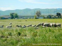 grazing sheep on Byron Rd